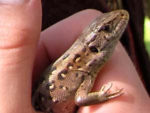 Ještěrka - plaz (reptile)